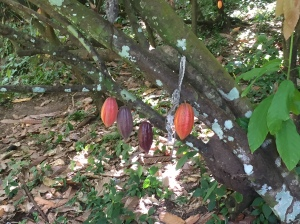 How cacao pods grow on trees--beautiful!