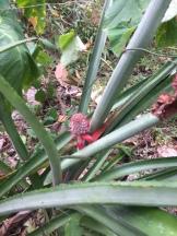Wild pineapple on Crayfish Estate.